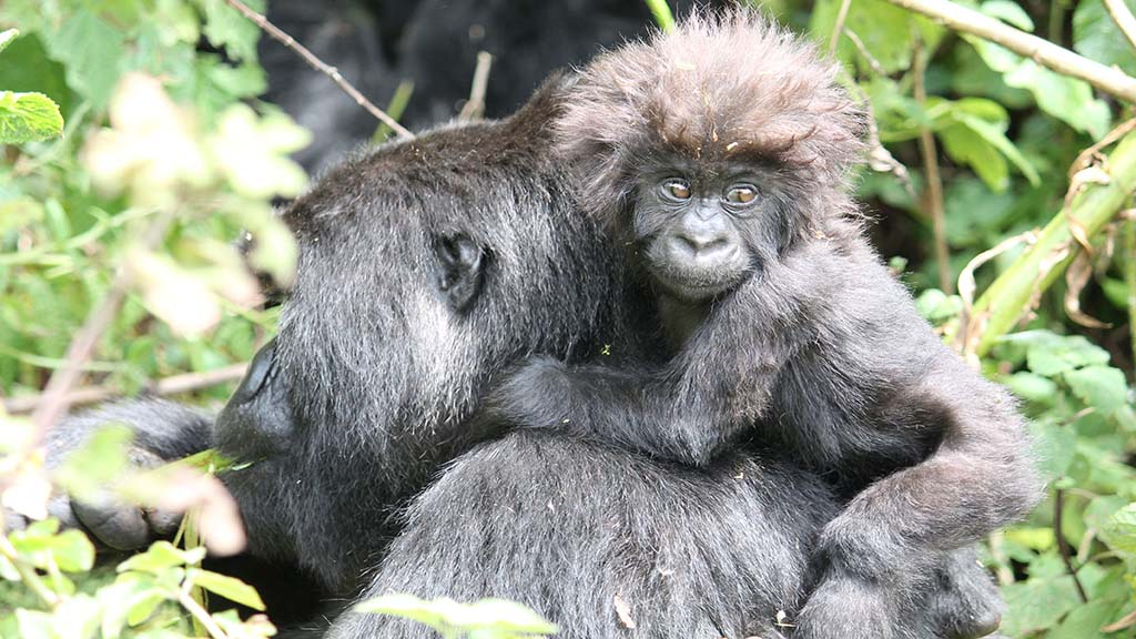 Gorilla with baby experiences