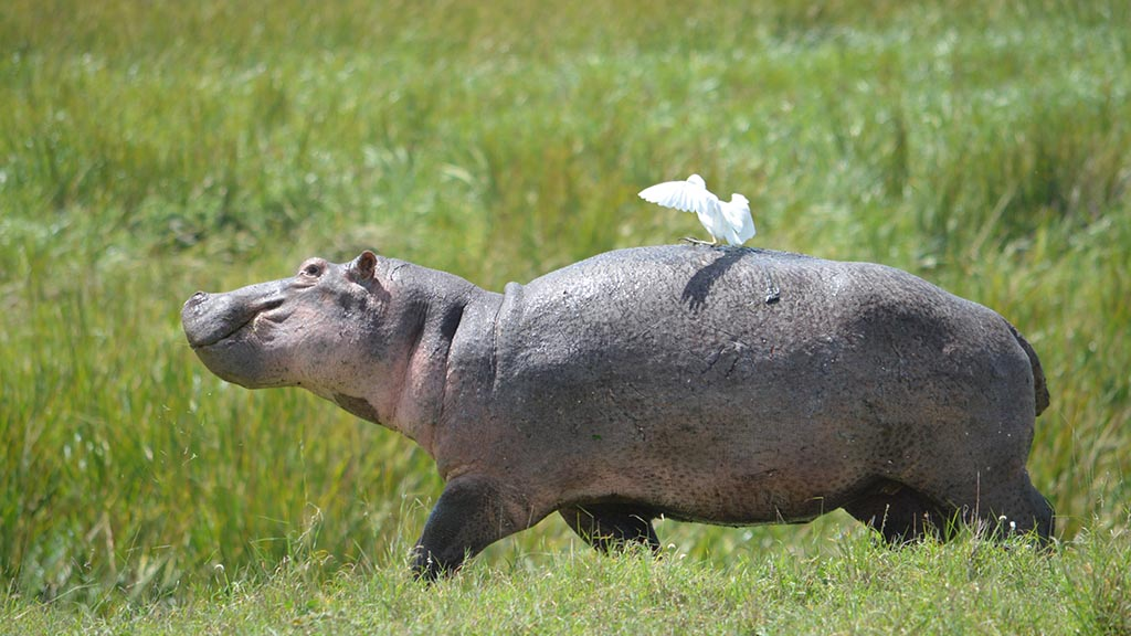 Hippo with white bird experiences